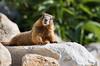 Marmot Series (Jami Bollschweiler Photography) Tags: marmot groundhog whistle pigs wildlife photography utah silver lake amazing funny hilarious poses