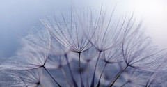 (donna leitch) Tags: nature macro dandelion donnaleitch