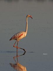 Greater Flamingo ( Phoenicopterus Ruber ) (diegocon1964) Tags: greaterflamingo phoenicopterusruber flamencocomún islamayor sevilla españa