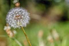 Just blow (I was blind now I see!) Tags: dandelion seeds flower botanical bokeh focus