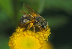 Halictus seladonius f - 20 VIII 2017 (el.gritche) Tags: hymenoptera france 40 halictidae halictus seladonius halictusseladonius seladonia female tanacetumvulgare asteraceae bee abeille