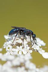 blue-black spider wasp Victoria bc (lee barlow) Tags: vancouverisland nikon wasp blueblackspiderwasp britishcolumbia anopliusspecies macro insectsofbc canada insect victoriabc d7200 leebarlow