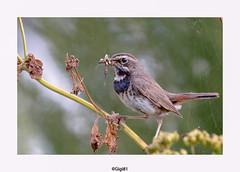 Gorgebleue à miroir (gilbert.calatayud) Tags: bluethroat gorgebleueàmiroir lusciniasvecica muscicapidés passériformes bird oiseau ile de ré