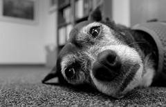 Mazie, at work. 21 (X70) (Mega-Magpie) Tags: fuji fujifilm x70 mazie dog puppy pet cute bw black white mono monochrome