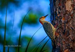 Woodpecker on Tree (tclaud2002) Tags: woodpecker bird cling clinging tree nature mothernature wildlife animal outdoors greatoutdoors cypresscreek naturalarea cypresscreeknaturalarea jupiter florida usa
