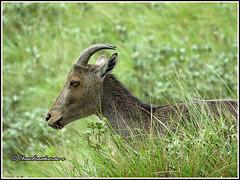 7061 - nilgiri tahr. Munnar (chandrasekaran a 40 lakhs views Thanks to all) Tags: nilgiritahrs tahrs endangered species mammals munnar kerala india nature