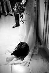 IMG_6394 (Beatrix Kiddo2012) Tags: weddingday sister dog love jealousy