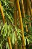 Palmengarten, Bambus (bamboo) (HEN-Magonza) Tags: frankfurt hessen hesse deutschland germany palmengarten bambus bamboo frankfurtammain