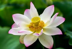 Lotus Flowers (davebentleyphotography) Tags: davebentleyphotography kenilworthaquaticgardens lotusflower 2017 flower lotus