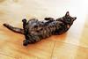Mokka in Berlin (kirstiecat) Tags: caturday berlin germany cat feline furry belly catbelly catcafe funnyfeline baristacatskatzencafé baristacats canon