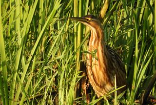 American Bittern 8-13-17 Ridgefield National Wildlife Refuge