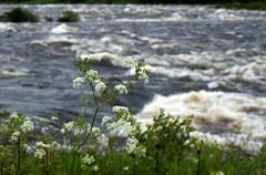 (helena.e) Tags: helenae semester vacation ålga husbil motorhome norrland kukkolaforsen blomma flower water vatten torneälv älv riksgräns
