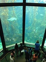 Deep Tank, Monterey Bay Aquarium. (Melinda Young Stuart) Tags: aquatic aquarium fish sea education exhibit museum tank kelp mba sealife water 2story tall ca visit oceans life marine