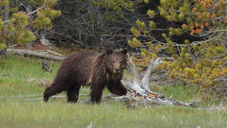 Yearling Grizzly Bear