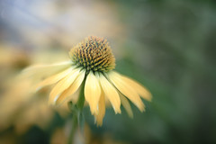 Sunlight (Betty Hodges) Tags: sweet50 extensiontube flowers closeup floral selectivefocus coneflower garden summer macro flora softfocus sunlight rays yellow lensbaby flower