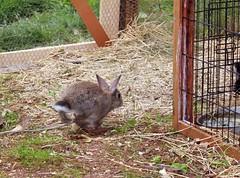 9 (Protty coniglio nano) Tags: coniglio conigli protty bunny bunnies rabbit rabbits kaninchen lapin coniglietti coniglionano prottyit coniglinani oryctolagus oryctolaguscuniculus