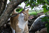 Ziggy Cat - Tree Branch Silliness 6-1-17 06 (anothertom) Tags: cats ziggycat yard outside treebranch rubbing sillycat catface yardpatrol funnycat sonyrx100ii 2017