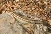 Northern Sagebrush Lizard (Sceloporus graciosus graciosus) - Male (aliceinwl1) Tags: ca california chordata easternsierras2017 hotcreek monocounty northernsagebrushlizardsceloporusgraciosusgraciosus phrynosomatidae reptilia sagebrushlizard sceloporus sceloporusgraciosus squamata graciosus herp lizard locnoone male reptile viseveryone
