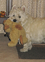 "8/12A ~ ""Riley & His Favorite Toy"" (ellenc995) Tags: riley westie westhighlandwhiteterrier toy stuffie 12monthsfordogs17 rubyphotographer thesunshinegroup coth alittlebeauty thegalaxy sunrays5 coth5 fantasticnature abigfave supershot challengeclub 100commentgroup"