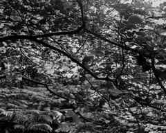 Backlit leaves and branches (Hyons Wood) (Jonathan Carr) Tags: tree ancient woodland landscape rural northeast 4x5 5x4 largeformat toyo45a black white bw monochrome leave backlight