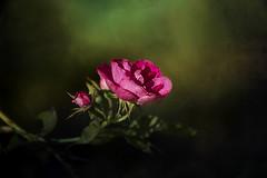 Trompe l'oeil (SereSima) Tags: flower rose stem petal garden dof depthoffield texture