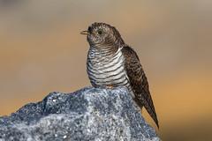 Cuckoo (Simon Stobart) Tags: cuckoo juvenile cuculus canorus perched rock beach northeastengland coth5 ngc sunrays5 npc ruby15
