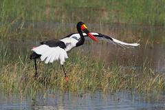 P7200227 (hugoholunder) Tags: südafrika botswana okovango delta juli 2017 german bird