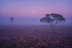 Dutch Africa (albert dros) Tags: trees dutch dutchafrica sunrise tree serene purple mist moonrise netherlands fog atmosphere moonset travel heather