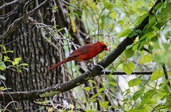 Cardinal (timvandenhoek1) Tags: sonyilce6000 snapseed sonye55210mmzoomlens timvandenhoek midwest missouri cardinal bird animal