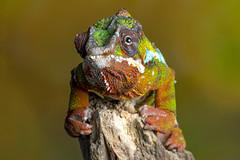 Panther Chameleon, CaptiveLight, Ringwood, Hampshire, UK