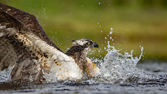 "Splash down!!! (coopsphotomad) Tags: osprey ""bird prey"" bird animal nature wildlife fish trout water bokeh wild predator scotland britain outdoors spray talons"
