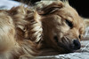 (Dana L. Brown) Tags: doctorofpsychologydog idledogindreamland restlifebestlife sleepyhead