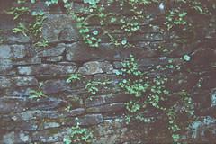 Stone wall (avenwildsmith) Tags: film 35mm nature devon countryside analog analogue kodak retinette 1b grain england britain wild wilderness plant plants 35mmfilm kodakretinette1b