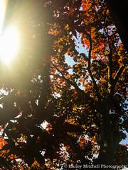Japanese Maple Tree (Harley Mitchell) Tags: japanesemapletree tree nature leaves sun outside