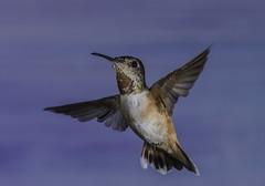 Allen's Hummingbird On Approach (Bill Gracey 15 Million Views) Tags: hummingbird allenshummingbird bird avianphotography offcameraflash yongnuo yongnuorf603n nature naturalbeauty set backdrop bif birdinflight