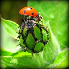 The Beauty and the Beast! lol (Deida 1) Tags: beetle ant flowerbud garden uk staffordshire wildlife ladybird
