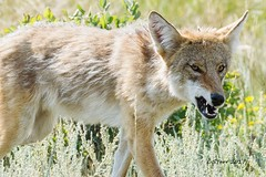 IMG_9552 coyote (starc283) Tags: canon canon7d coyote flickr flicker wildlife starc283 canine predator