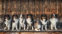 The Magnificent Seven (der_peste) Tags: australianshepherd shepherd dogs pack dog hunde rudel pet family aussie merle blacktri bordercollie