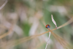 Leading Lines (Pittypomm) Tags: ladybird beetle seven spot coccinella septempunctata grass stems brown green red 2017project52 week33 muted pastel colours