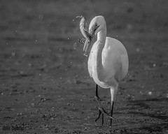 Egret's big breakfast (flintframer) Tags: egret muscatatuck nwr indiana black white bw monochrome wow dattilo hunting eating canon eos 7d markii ef600mm 14x