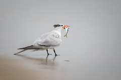 Royal Tern with Pilchard (Muzzlehatch) Tags: least tern border fields state park california