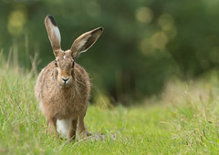 Brown Hare (Wouter's Wildlife Photography) Tags: brownhare hare mammal rodent nature naturephotography wildlife wildlifephotography billund
