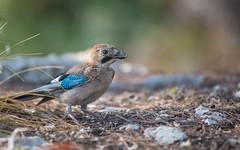 Jay (02) (Vlado Ferenčić) Tags: birds animals animalplanet jay adriatic adriaticsea vladoferencic istria istra vladimirferencic nikond600 ptice nikkor8020028 rovinj