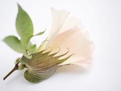 High Cotton (TuthFaree) Tags: elements macromonday macro cotton bloom highkey
