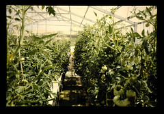 Tomato Plunts Growing By Hydroponic Cultivation Atmacfarm = MACFARMの新和式水耕施設で栽培中のトマト