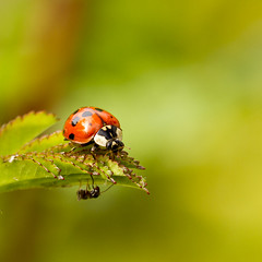 One of them has a shock coming...... (The Manic Macrographer) Tags: ladybug harlequinbeetle ant dof bokeh green macro outdoors garden peterborough uk insect summer coleoptera hymenoptera canon7d canonef100mmf28lmacroisusm themanicmacrographer nikkvalentine