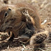 african groundsquirrel Blijdorp BB2A9496