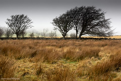 Windswept (lawrencecornell25) Tags: landscape trees dartmoor dartmoornationalpark nature outdoors scenery olympusomdem10mkii winter windy