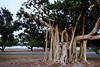 dsc01596 (space lama) Tags: moretonbayfig banyan tree roots ocean
