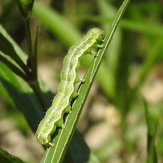 Cabbage Looper Caterpillar